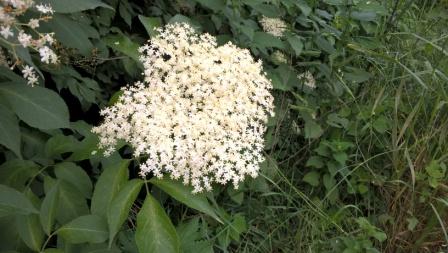 Hollerblüte, Umbrien